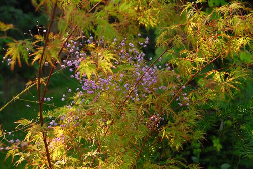 Acer palmatum et Thalictrum delavayi Hewitts Double