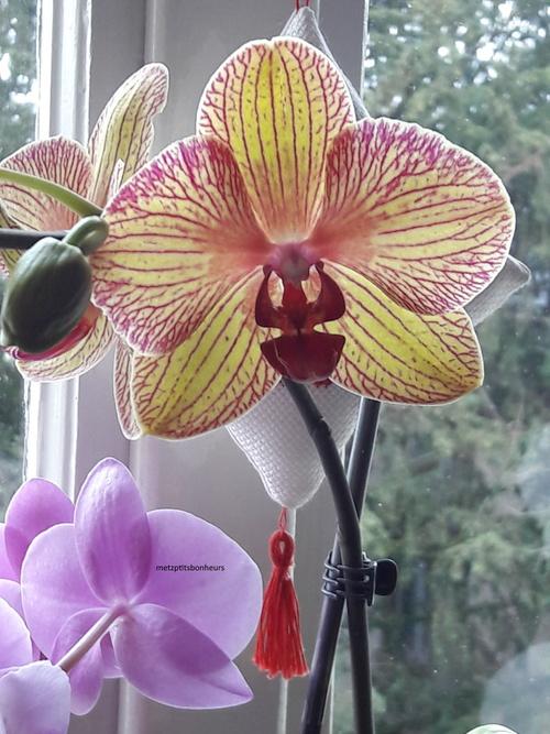 Mes orchidées....en fleurs!