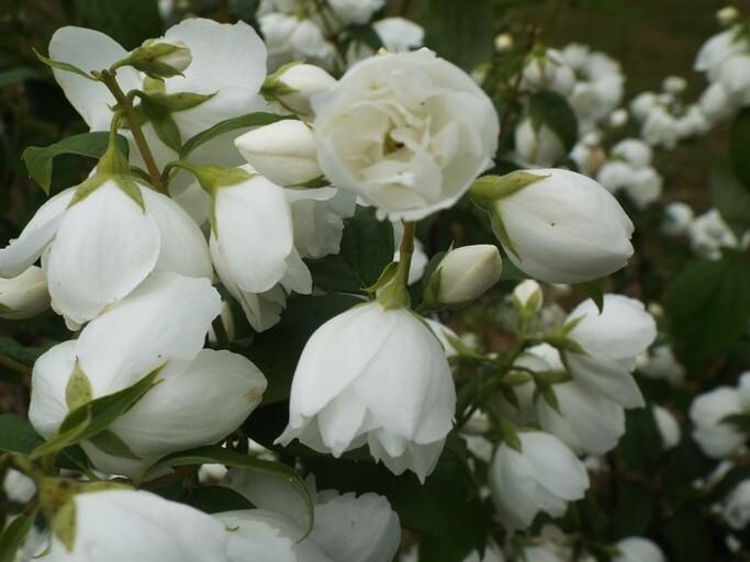 Fleurs immaculées de fin juin ...