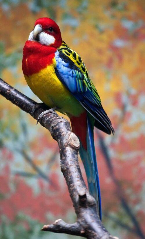 Oiseaux d' Australie