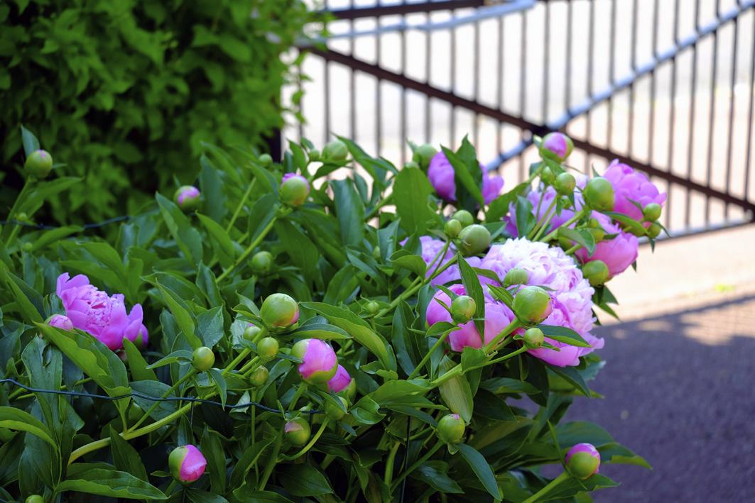 Elles fleurissent à vue d'oeil (ce matin)