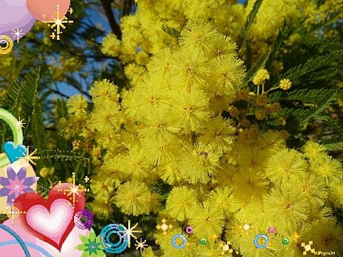 amandiers-mimosa-vignes 084