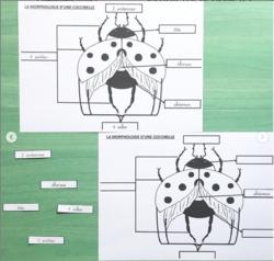 Morphologie Phamse / coccinelle