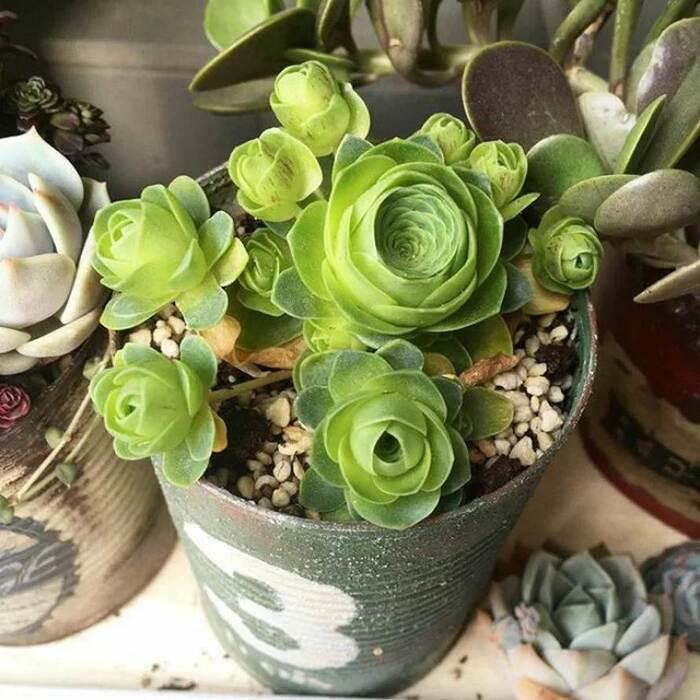 Les plantes succulentes en forme de rose existent