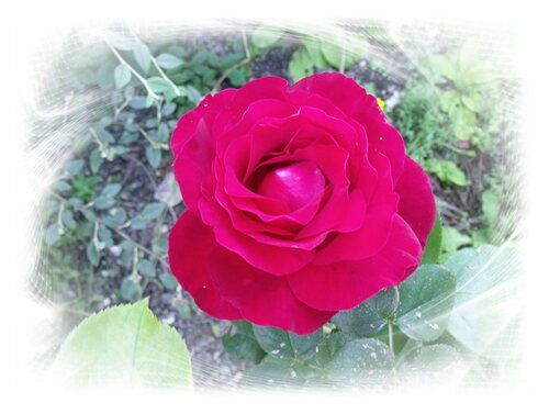 Les roses..