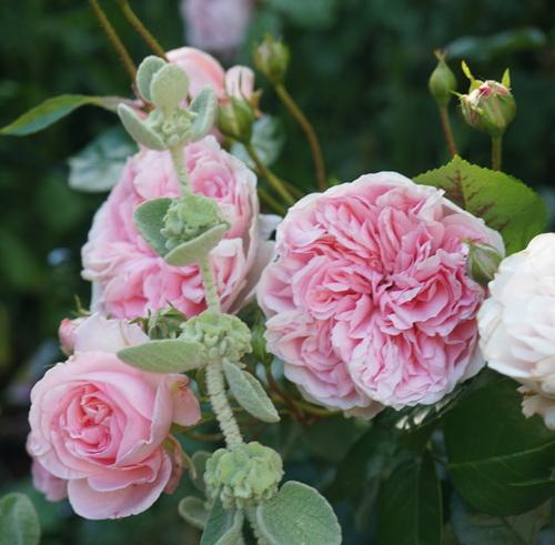 Un jour une rose : Bossa Nova