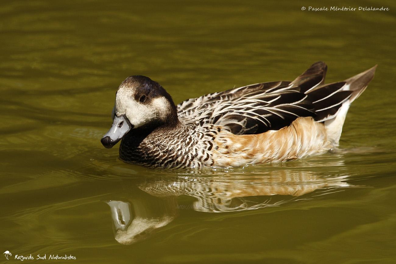 Canard de Chiloe