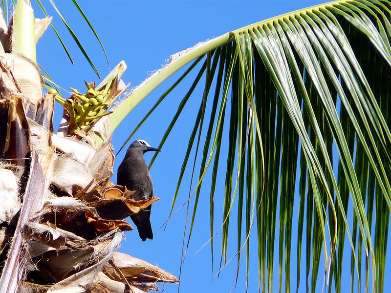 Noddi brun - Moorea - Polynésie française