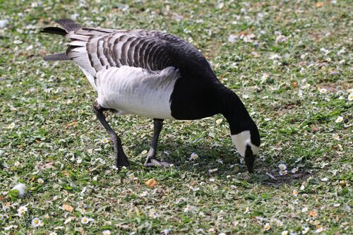 Bernache Nonette (Barnacle Goose)