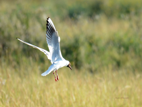 """Mouette """"rieuse"""""""