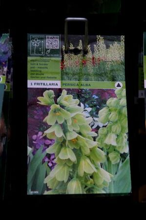 Famiflora : les bulbes sont là ! (2/2)
