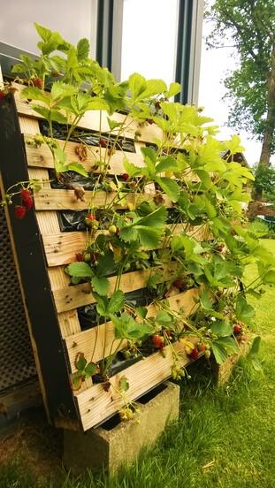 Des fraisiers sans limaces...