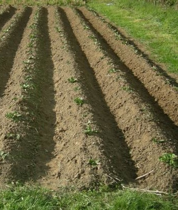 Les pommes de terre sont en place... sous le foin !