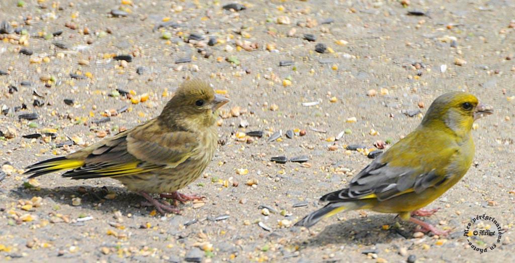Les oiseaux de mon jardin (1)