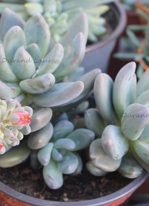 Pachyveria Blue Mist ou Sedeveria Blue Mist en fleur - 2015