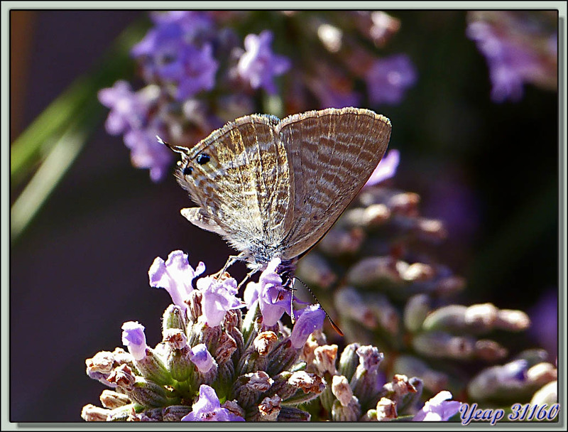 Papillon Azuré porte-queue (Lampides boeticus) - Verdun - Ariège (09)  (Faune)