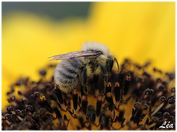 Insectes-2-3466-Bombus-lucorum-male.jpg