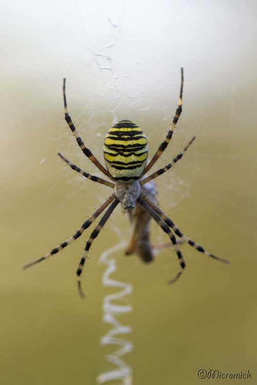 Araignée Argiope