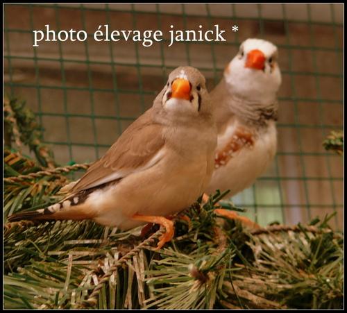 sortie du nid pour des petits mandarins *