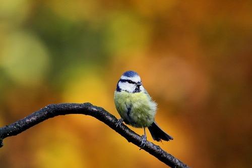 Nos oiseaux familiers