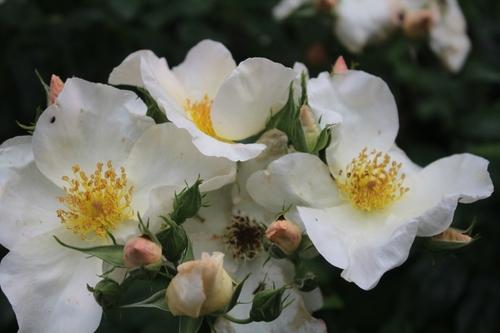 Flash sur les roses
