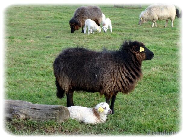 Le mouton des landes de Bretagne
