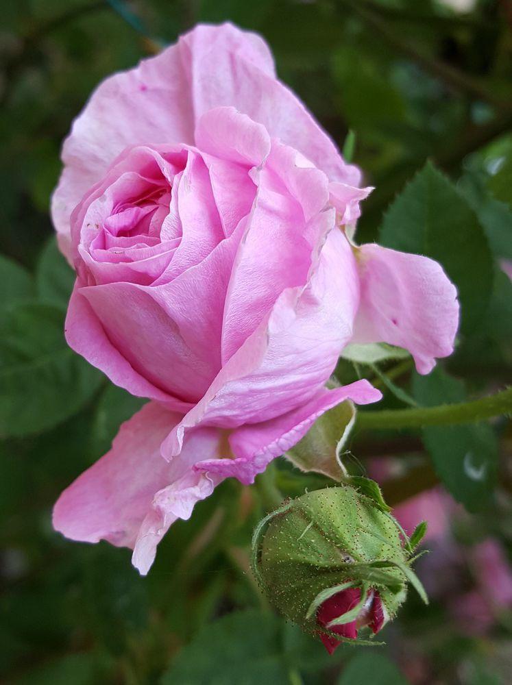 La saison des roses fripées est revenue - avril 2020...