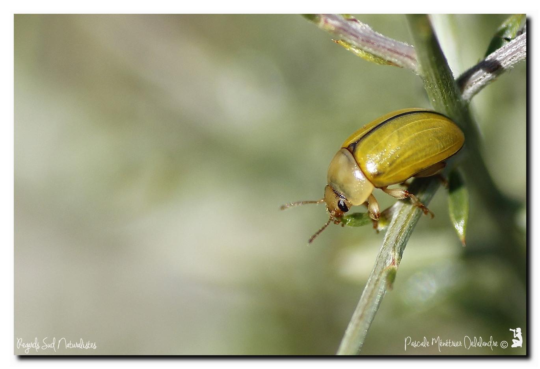 Coléoptère Chrysomelidae Gonioctena olivacera