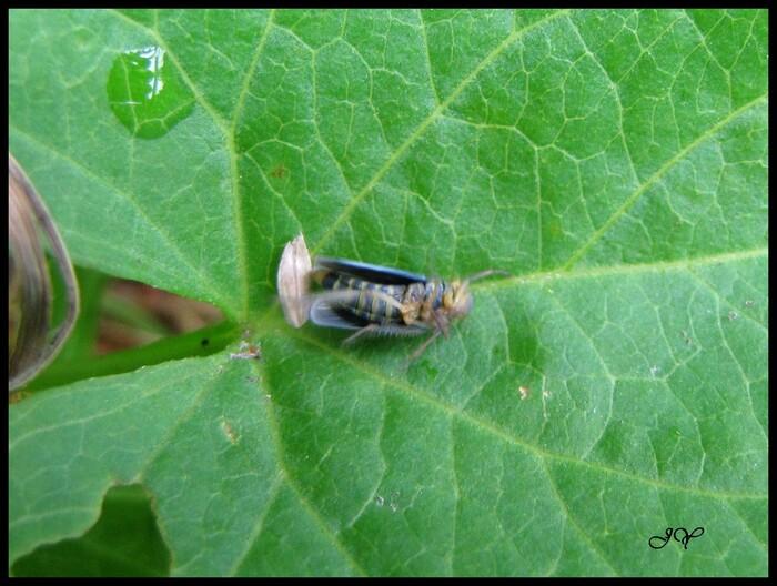 Cicadelle verte.