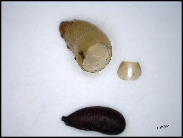 Larves de diptères  Syrphidae.