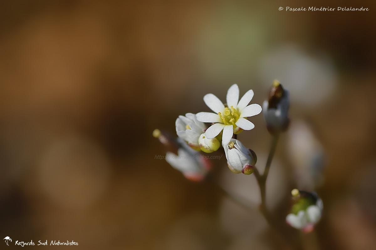 Erophila verna ssp. verna