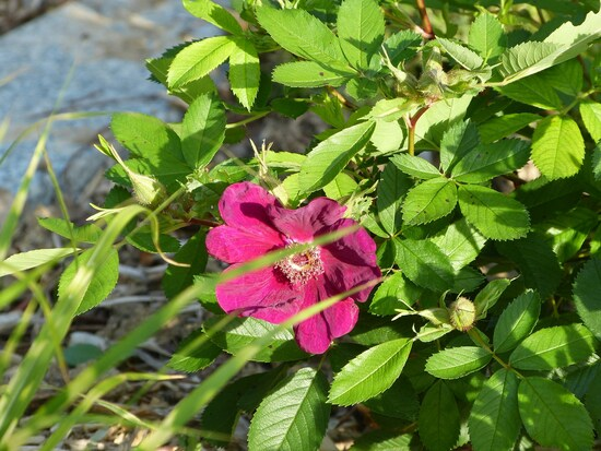 Bayes purple rose