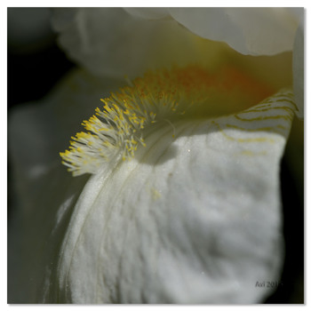 Harmonie d'iris dans mon jardin