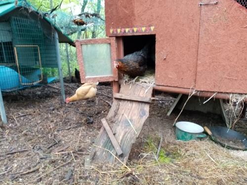 De nouvelles copines pour nos poules