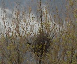 Le nid de pies