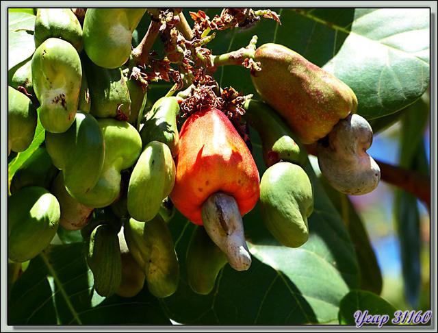 Blog de images-du-pays-des-ours : Images du Pays des Ours (et d'ailleurs ...), Pomme de cajou (Anacardium occidentale) - Rincon de la Vieja - Costa Rica