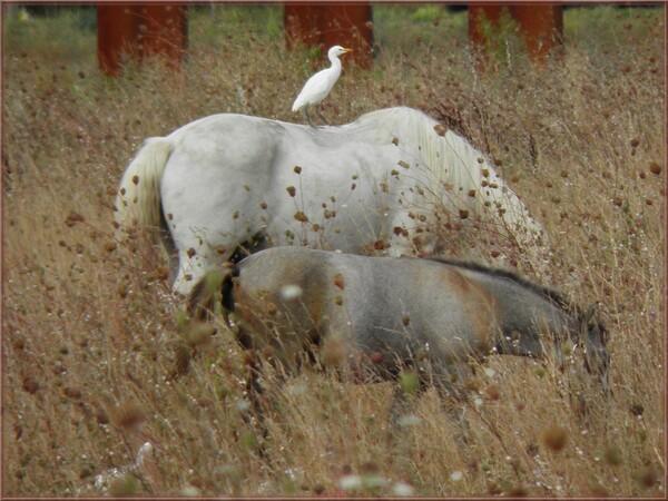 Juments et Poulains camarguais dans la prairie sèche