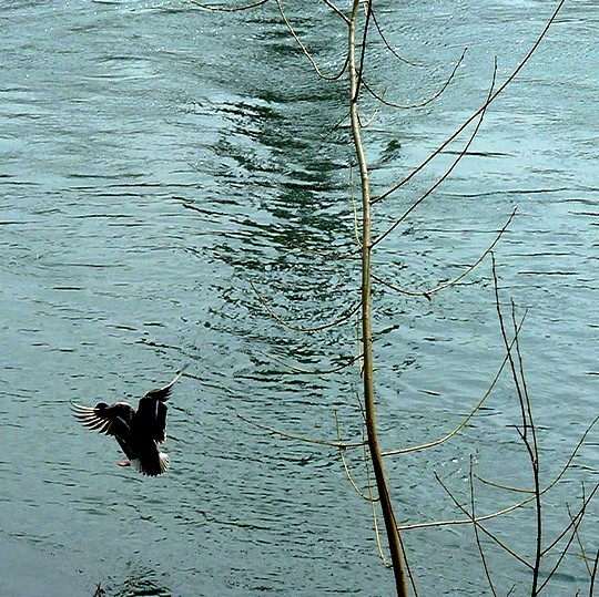 Le canard de Moselle 1 Marc de Metz 08 04 2013-copie-1