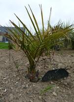 jubaea  chilensis n°2