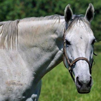 le licol permet de tenir le cheval à ses côtés.
