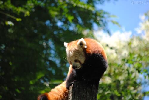 (23) Le panda roux.