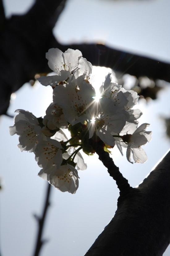 cerisier13h