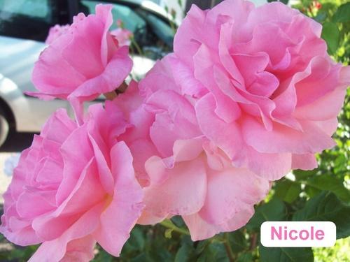 LES ROSES DE NICOLE ...