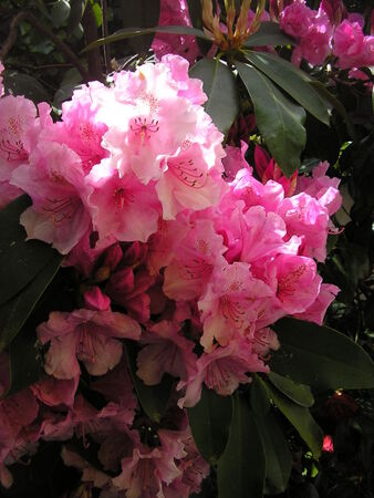 rhododendrons__3_002