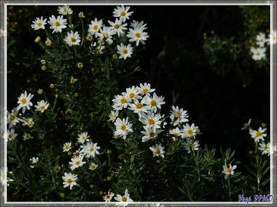 Fachine ou Mata nera (Chiliotrichum diffusum) - Peninsula de Magallanes - Patagonie - Argentine