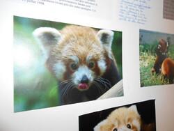 Exposé sur le panda roux