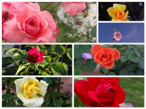 Montages de roses