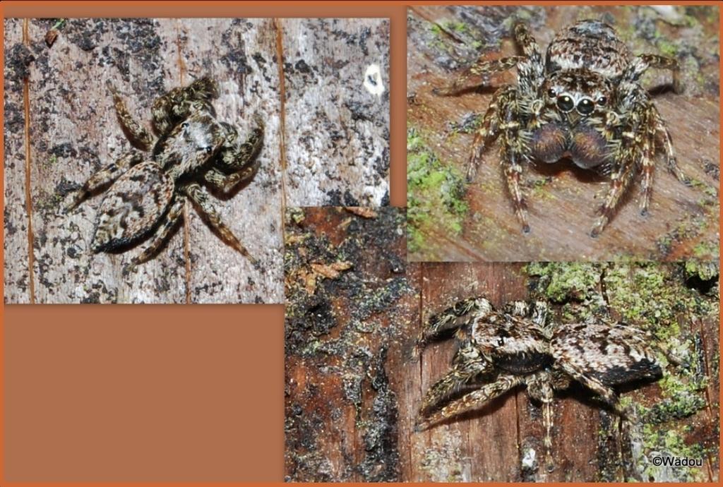 Araignée sauteuse  Marpissa muscosa