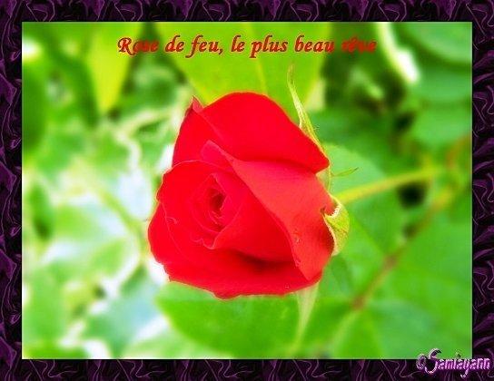 Carte fleurie la rose rouge avec un petit message for Livraison fleurs avec message