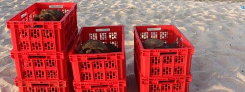 Equateur : 36 tortues des Galapagos réintroduites dans leur milieu naturel